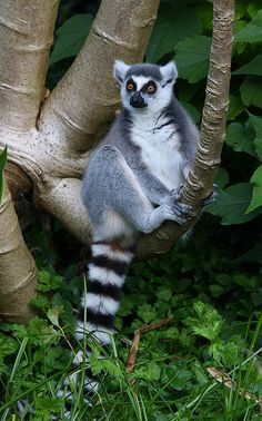 Love ring-tailed lemurs. Their faces crack me up.