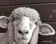 A sheep at The Gentle Barn in California