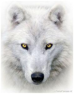 beautiful-wildlife: White Wolf by Foto Foosa Arktischer Wolf, Wolf Love, Lone Wolf, Wolf Images, Wolf Photos, Wolf Pictures, Beautiful Wolves, Animals Beautiful, Tier Wolf