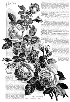 I hope you are enjoying these flower images from New Guide to Rose Culture Abridged Edition. I know they will be great for creatin. Decoupage Vintage, Decoupage Paper, Vintage Labels, Vintage Ephemera, Foto Transfer, Floral Drawing, Motif Floral, Flower Images, Grafik Design