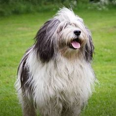 Polish Lowland Sheepdog Doggies, Dogs And Puppies, Polish Lowland Sheepdog, Bearded Collie, Adorable Dogs, Westies, Funny Dogs, Happy, Animals