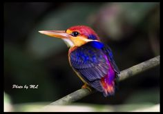 Black-backed kingfisher, Ceyx erithaca  bird