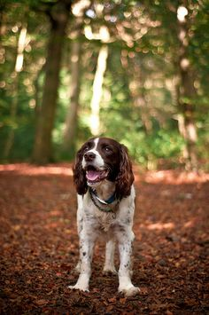 "Click visit site and Check out Cool ""English Springer Spaniel"" T-shirts. This website is superb. Tip: You can search ""your name"" or ""your favorite shirts"" at search bar on the top. I Love Dogs, Cute Dogs, Pet Shop, Sweet Dogs, Super Cute Animals, English Springer Spaniel, Best Dog Breeds, Spaniel Dog, Hunting Dogs"
