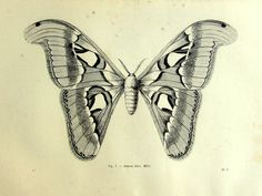 1860 Vintage Atlas moth print, antique original lepidoptera engraving, butterfly papillon plate illustration, insect  zoology  for frame.