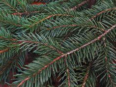 Fraîches branches couper les sapins de DOUGLAS utilisés dans toutes les vacances Hogrie tels que les célébrations de Noël, Kuwanza, Solstice