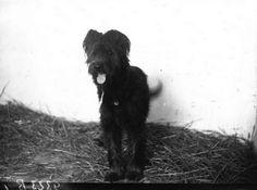 http://www.toutsurleschiens.com/images/histoire/berger-de-brie-1935.png