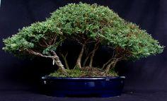 Bonsai Ficus, Plantas Bonsai, Ikebana, Plants, Garden, Recipes, Soil Type, Violets, Plant