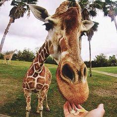 Follow @SeanBarela for more amazing nature and travel photos @SeanBarela  Giraffe | Photograph by @SeanBarela - #WildlifePlanet by wildlifeplanet