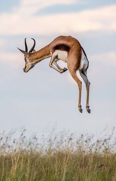 A Startled African Springbok Antelope. It is This Antelope That the Cheetah Often Hunts. The Animals, Nature Animals, Wild Animals, Desert Animals, Exotic Animals, Strange Animals, Wildlife Nature, Nature Nature, Exotic Pets