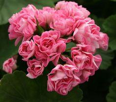 GERANiUM Rosebud Pelargonium 'Australian Pink Rambler'