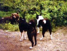 Karelian Bear Dogs - cornered a grizzly bear