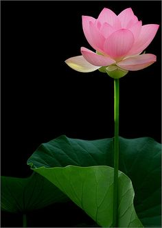 Lotus Flower - IMG_3043 | Flickr - Photo Sharing!
