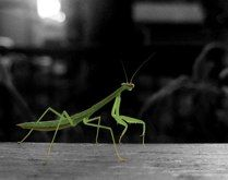 We found this praying mantis on our deck...