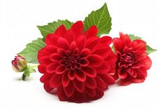 Fall Flowers, Colorful Flowers, Dahlia Flower Tattoos, November Birth Flower, Red Daisy, Flower Meanings, Birth Flowers, Love Garden, Flower Mandala