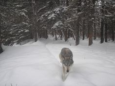 Riding Mountain National Park captured this amazing wolf photo from their trail cam. Road Trip Usa, Usa Roadtrip, Riding Mountain National Park, Wolf Photos, Western Canada, Working Together, Flora And Fauna, Wolves, Polar Bear