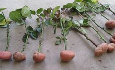 Cuttings of roses in potatoes. part Rose Cuttings in potatoes. Part 1 Cuttings of rose Edible Flowers, Plants, Tomato Seedlings, Garden Plants, Planting Roses, Roses In Potatoes, Growing Vegetables, Edible Garden, Grow Potatoes In Container