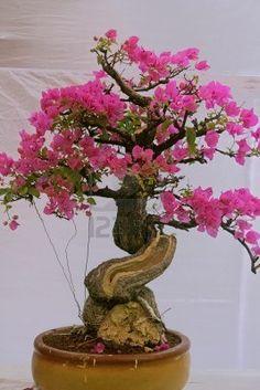 Bonsai tree of Bougainvillea tree, India Stock Photo