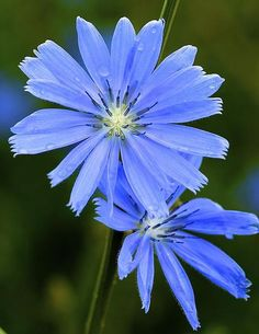 Chicory Print by JLambe Photography Beautiful Rose Flowers, Amazing Flowers, Blue Flowers, Wild Flowers, Flowers Names And Pictures, Violet Flower Tattoos, Plant Tattoo, Blue Paint Colors, Language Of Flowers