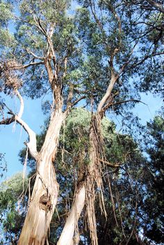 Australian Stringy Bark - tall & magestic in Aussie bush