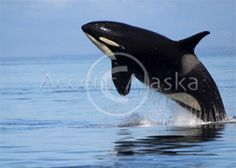 Free Willy Killer Whale
