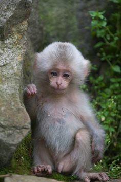 https://flic.kr/p/eXTsFC | White furry baby | Very,very rare case !  Snow Monkeys live in Jigokudani,Nagano prefecture 1Dx、 EF70-200mmf2.8L Ⅱ