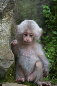 https://flic.kr/p/eXTsFC   White furry baby   Very,very rare case !  Snow Monkeys live in Jigokudani,Nagano prefecture 1Dx、 EF70-200mmf2.8L Ⅱ
