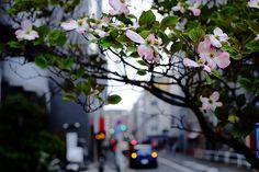 ハナミズキ - Atsushi Tsuchiya