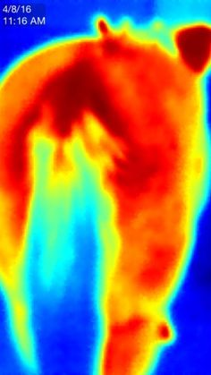 Thermal imaging is a great tool to detect heat and inflammation in your equine…