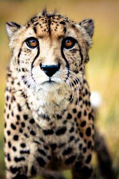 Big Cat Photo 11 in Adventurous Examples of Wildlife Photography (12 Big Cats Pics)