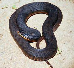 Iowa Plainbelly Water Snake