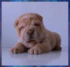 shar pei puppy - wrinkle on wrinkle on wrinkle!
