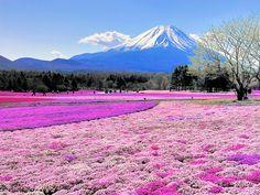 「芝桜」の画像検索結果