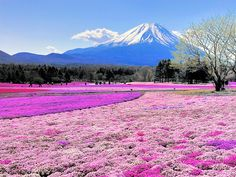 cherry blossom festival japan - Google Search