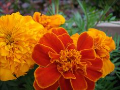 Some bright marigolds and a great pòst on words. Read more