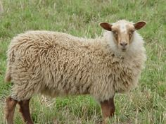 Mioget Shetland Ewe Lamb from Sheltering Pines, Michigan.  She has golden fleece with no grey fibers.  Photo by Stephen Rouse.