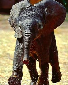 Elephants Photos, Save The Elephants, Animals And Pets, Baby Animals, Animal Babies, Elephant Love, Beautiful Creatures, Conservation, Turtles