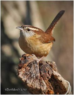 Carolina Wren...one of my favorites!  They will nest almost anywhere...have had them in a flower pot, on a shelf and inside my barbeque grill (no grilling until the nest was clear of fledglings!)