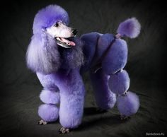 A real-life purple poodle.