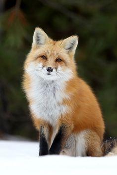 Poser by Megan Lorenz Wild Animals Pictures, Fox Pictures, Cute Baby Animals, Animals And Pets, Funny Animals, Fox Background, Wild Animal Wallpaper, Hd Wallpaper, Wolf Hybrid