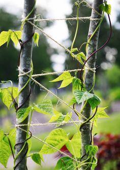 Puutarhan köynnöskasvit kohoavat ylöspäin köynnöstukea vasten ja lisäävät siten maiseman ulottuvuuksia. Voit tehdä köynnöstuen myös itse. Katso VIherpihan ideat.