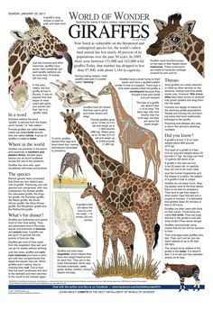 World of Wonder by Laurie Triefeldt for January 2017 - GoComics Zoo Animals, Animals And Pets, Funny Animals, Cute Animals, Beautiful Creatures, Animals Beautiful, Giraffe Pictures, Giraffe Images, Giraffe Facts