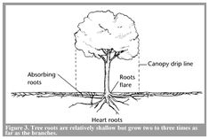 Most of a tree's roots are in the top 12 inches of soil, extending 3 times the size of the tree's crown.