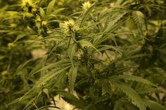 A third jilted cannabis firm sues Maryland medical marijuana regulators - Washington Post