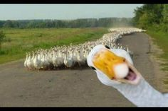If i had a duck, lol.I have a duck!love my Terri. Animals And Pets, Funny Animals, Cute Animals, Smiling Animals, Wild Animals, Beautiful Birds, Animals Beautiful, Tierischer Humor, Funny Humor