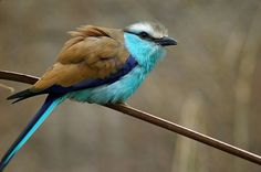 racket-tailed roller     (photo via dipity)