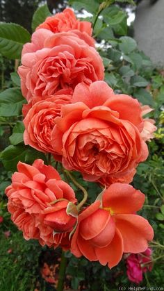 "Rose "" Summer Song "" , (Austango) , bred by David C. H. Austin (United Kingdom, before 2005)"