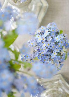 Pale Blue Forget Me Nots ~