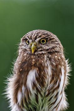 ✯ Eurasian Pygmy Owl