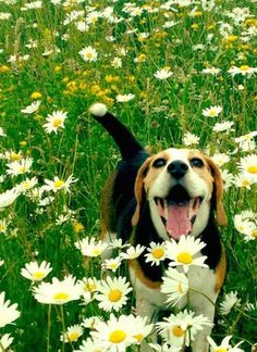 Such a sweet beagle having fun in a field of flowers