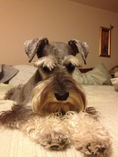 A darling salt and pepper mini schnauzer what a gentle and sweet little boy who makes me smile and brings me joy❤️ Zackary Schnauzer